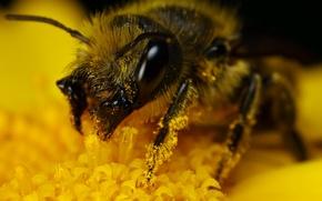 Picture yellow, pollen, bumblebee