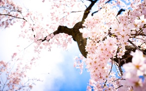 Picture the sky, flowers, branches, spring, Sakura