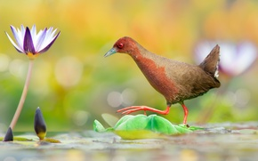 Wallpaper flower, water, bird, the transition, water Lily, Red-legged Pagonis