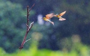 Picture flight, birds, two, branch, pouloudi, in the rain