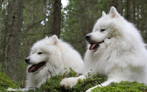 Picture a couple, friends, Samoyed, The Samoyed