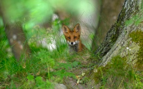 Picture forest, grass, nature, Sweden, red Fox
