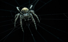 Picture spider, web, ambush