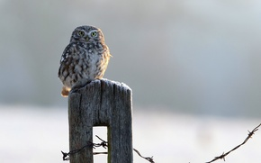 Picture owl, bird, the fence