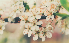 Picture flowers, cherry, branch, tenderness, color, spring, petals, flowering