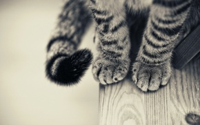 Picture paws, Cat, black and white, smoky