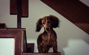 Picture house, dog, Miniature Long-Haired Dachshund