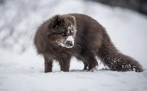 Picture winter, snow, Fox, Fox, wildlife