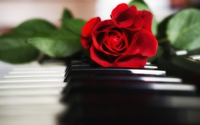Picture rose, keys, piano, red