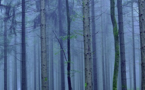 Picture forest, trees, fog, trunk