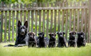 Picture dogs, puppies, shepherd, German shepherd
