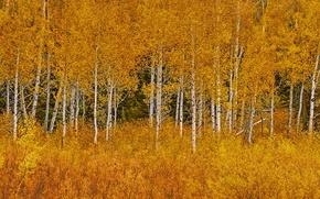Picture autumn, leaves, trees, Wyoming, USA, Grand Teton National Park, aspen