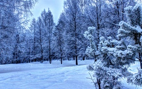 Picture forest, Winter, snow., Ate