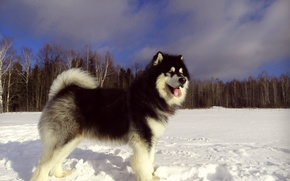 Picture winter, snow, dog, Alaskan Malamute, Yakut Malamutes, Snow Carrousel Jackpot, Malamute Yakut, Northern sled dog