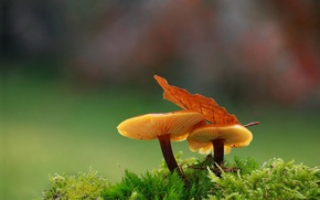 Picture macro, background, mushrooms, moss, leaf