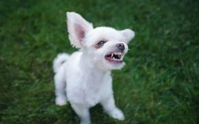 Wallpaper face, dog, grin, puppy