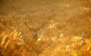 Picture autumn, forest, nature, gold, deer, morning, red, forest, nature, animal, deer, wild, Emi, stag