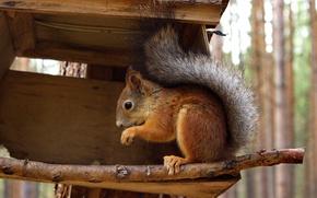 Picture autumn, forest, animals, nature, protein, squirrel, feeder