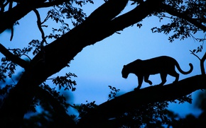Wallpaper tree, the evening, leopard, Africa