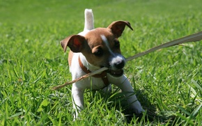 Wallpaper dog, animal, holding a stick, walk, Jack Russell puppy, grass, situation