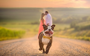 Picture road, running, pair, bulldog, lovers