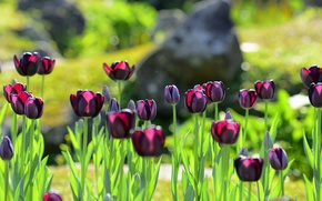 Picture flowers, tulips, flowerbed