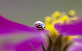 Wallpaper flower, plant, ladybug, beetle, petals, insect