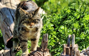 Wallpaper Scottish, look, face, wild cat, The Scottish Wildcat