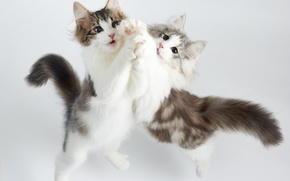 Picture cats, dance, kittens, two
