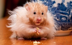 Picture hamster, rodent, crumbs