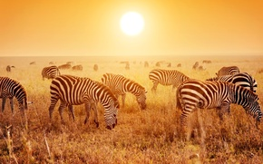 Picture Sunset, Field, Dawn, Zebra, Animals