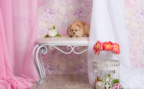 Picture flowers, room, wall, Wallpaper, dog, cell, puppy, fabric, lies, curtains, composition, peach, Spitz, bench, sweetie