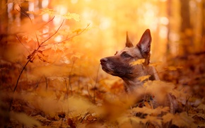Picture leaves, Belgian Malinois, autumn, face, branches, bokeh, dog