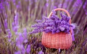 Picture flowers, basket, lavender