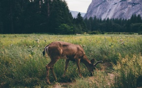 Picture forest, nature, Deer
