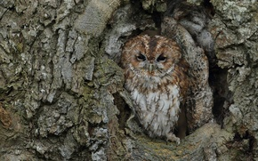 Picture tree, owl, bird, trunk, disguise, bark