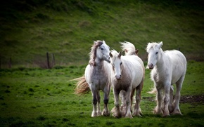 Picture field, nature, horses