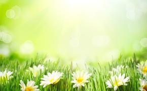 Picture summer, grass, chamomile
