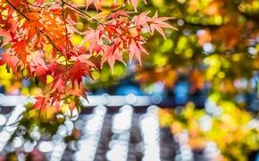 Picture autumn, leaves, macro, glare, tree, focus, blur, Maple, red