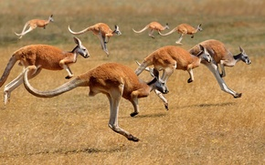 Wallpaper the herd, mammal, Australia, kangaroo