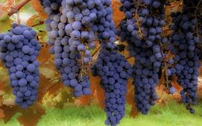 Wallpaper macro, background, grapes