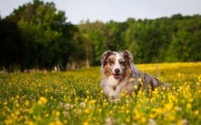 Wallpaper field, flowers, dog