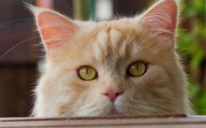 Picture cat, look, muzzle, red cat, cat