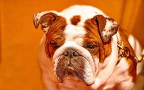 Picture face, background, dog, bulldog, English bulldog