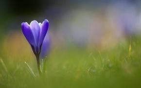 Picture flower, grass, blue, Krokus