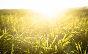Picture grass, the sun, light, sunset, nature, plant
