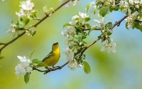 Picture bird, branch, spring, flowering, flowers, penectomy songster