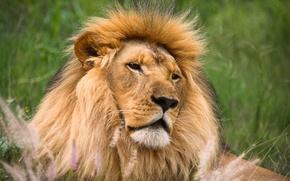 Picture predator, Leo, big cat
