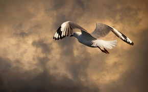 Picture the sky, clouds, bird, Seagull, in flight