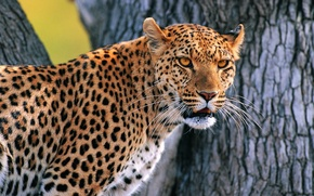 Picture tree, leopard, looks, whiskered snout